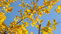 Foglie di ginkgo biloba in autunno